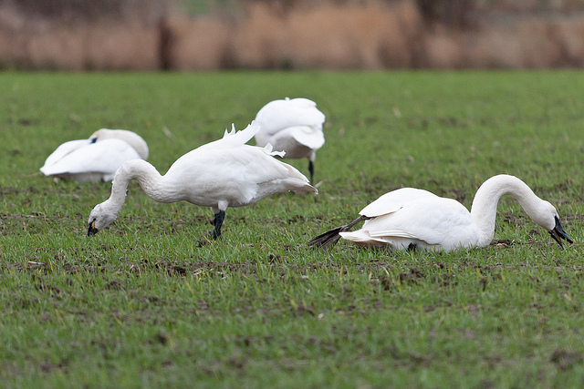Tundra Swans & Trumpeter Swans
